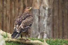 Lesser spotted eagle. The lesser spotted eagle sitting on the tweet Royalty Free Stock Images