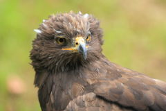 Lesser spotted eagle Stock Photo