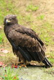 Lesser spotted eagle Stock Photography