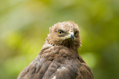Lesser spotted eagle. Close-up Royalty Free Stock Photo