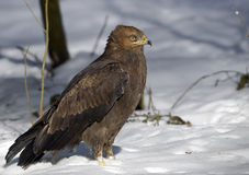 Lesser Spotted Eagle (Aquila pomarina). Photo of Spotted Eagle in zoo Stock Photos