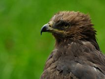 Lesser Spotted Eagle (Aquila Pomarina) Royalty Free Stock Photo
