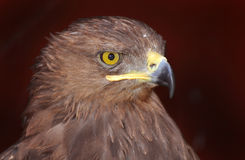 Lesser Spotted Eagle (Aquila pomarina) Royalty Free Stock Photos