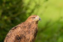 Lesser Spotted Eagle Aquila-pomarina royalty-vrije stock afbeelding