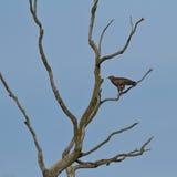 Lesser Spotted Eagle auf einem toten Baum Stockbild