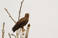 A Lesser Spotted Eagle on a dead tree Royalty Free Stock Image