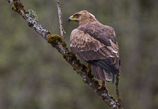 A Lesser Spotted Eagle on a dead tree. A Lesser Spotted Eagle (Aquila pomarina) on a dead tree in Lithuania Stock Photos