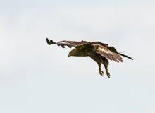Lesser Spotted Eagle, der in einem blauen Himmel schwebt Lizenzfreie Stockbilder