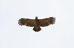 Lesser Spotted Eagle, der in einem blauen Himmel schwebt Stockfotos