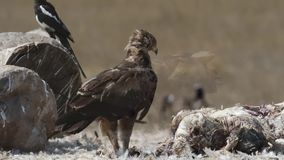 Lesser Spotted Eagle Eating Carrion. Lesser Spotted Eagle, Clanga pomarina, on chicken carrion feeding stock video