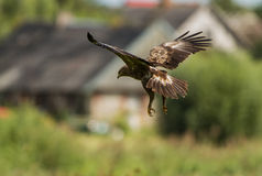 A Lesser Spotted Eagle gliding Royalty Free Stock Photography