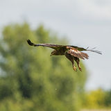 A Lesser Spotted Eagle gliding Stock Photos