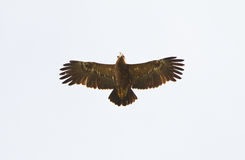 A Lesser Spotted Eagle hovering in a blue sky Stock Photos