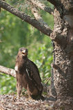 Lesser Spotted Eagle. In the nest. photo Stock Photo