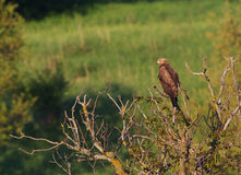 A Lesser Spotted Eagle observing Stock Image