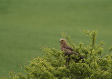 A Lesser Spotted Eagle observing Royalty Free Stock Images