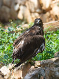 Lesser Spotted Eagle s'assied sur une roche image stock