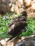 Lesser Spotted Eagle sitzt auf einem Felsen Stockbilder