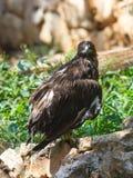 Lesser Spotted Eagle sitzt auf einem Felsen Stockbild