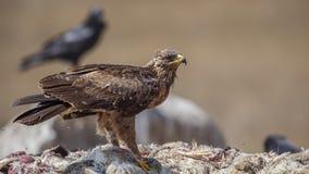 Lesser Spotted Eagle Standing encima de la carroña imágenes de archivo libres de regalías