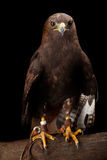 Lesser Spotted Eagle Stock Image