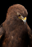 Lesser Spotted Eagle Stock Images