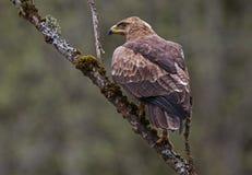 Lesser Spotted Eagle sur un arbre mort photos stock