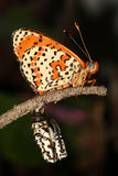 Lesser spotted  fritillary Royalty Free Stock Images