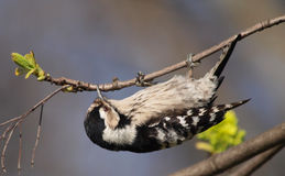 Lesser Spotted Woodpecker royalty free stock photography
