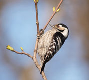 Lesser Spotted Woodpecker Royalty Free Stock Images