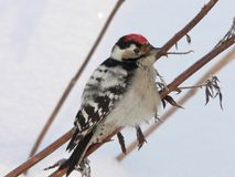 Lesser Spotted Woodpecker royalty free stock photos