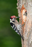 Lesser spotted woodpecker with chick Stock Photography