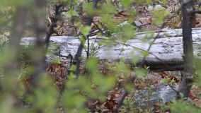 Lesser Spotted Woodpecker Dendrocopos-minderjarige stock footage
