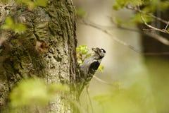 Lesser Spotted Woodpecker - Dendrocopos-minderjarige die zijn kuikens in nesthole op de boom voeden stock foto's