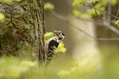 Lesser Spotted Woodpecker - Dendrocopos-minderjarige die zijn kuikens in nesthole op de boom voeden royalty-vrije stock foto