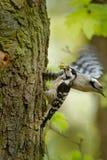 Lesser Spotted Woodpecker - Dendrocopos-minderjarige die zijn kuikens in nesthole op de boom voeden stock fotografie