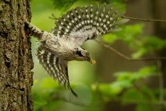 Lesser Spotted Woodpecker - Dendrocopos-minderjarige die zijn kuikens in nesthole op de boom voeden royalty-vrije stock afbeelding
