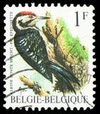 Lesser Spotted Woodpecker Dendrocopos-minderjarige, Vogels van Buzin serie, circa 1990 stock foto's