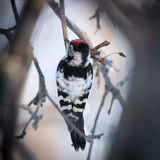 Lesser Spotted Woodpecker Dendrocopos minor Royalty Free Stock Image