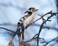 Lesser Spotted Woodpecker Dendrocopos minor Royalty Free Stock Photography