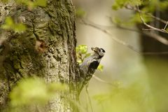 Lesser Spotted Woodpecker - Dendrocopos minor feeding his chicks in the nesthole on the tree.  Stock Photos