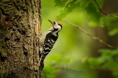 Lesser Spotted Woodpecker - Dendrocopos minor feeding his chicks in the nesthole on the tree.  Royalty Free Stock Photography