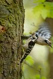 Lesser Spotted Woodpecker - Dendrocopos minor feeding his chicks in the nesthole on the tree.  Stock Photography