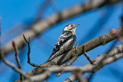 Spotted Woodpecker sitting on the tree branch in garden. The Lesser Spotted Woodpecker Dendrocopos minor in the wood Stock Photography