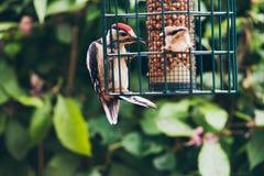 Lesser Spotted Woodpecker e passero sull'alimentatore d'attaccatura fotografia stock libera da diritti