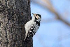 Lesser-spotted woodpecker Stock Photo