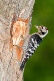 Lesser spotted woodpecker with food Stock Photography