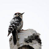 Lesser Spotted Woodpecker. Hanging out in deadwood Royalty Free Stock Photography