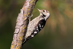 Lesser spotted woodpecker male sits on the branch Royalty Free Stock Image