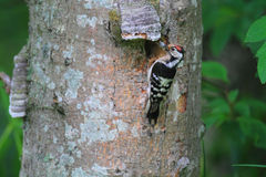 Lesser Spotted Woodpecker male Stock Images